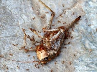 dead locust